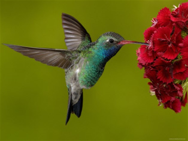 20 curiosidades y leyendas que no sab as del colibr - Oiseau mouche dessin ...